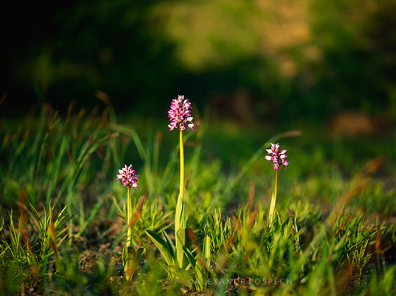 Orchis-militaris-the-military-orchid
