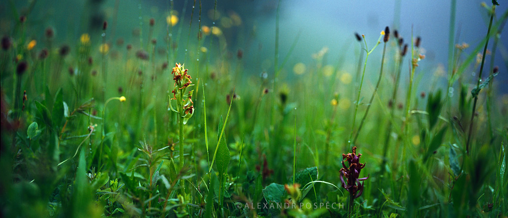 03 Orchids-Misty-Meadow-morning