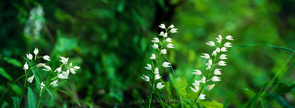 11 Cephalanthera-longifolia-Sword-leaved-Helleborine