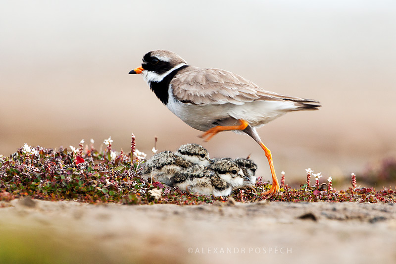 -Ringed-Plover-family-Svalbard-Arctic