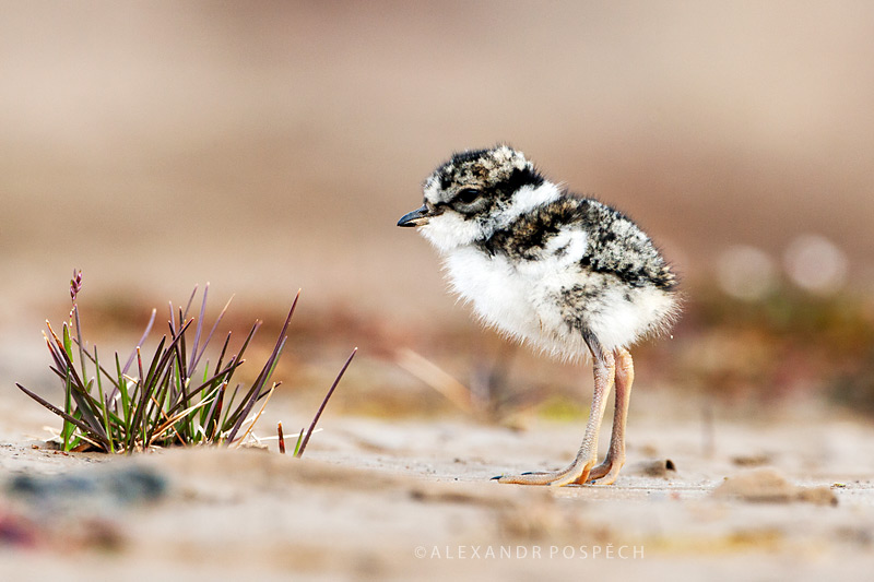 -Ringed-Plover-camouflage-chick
